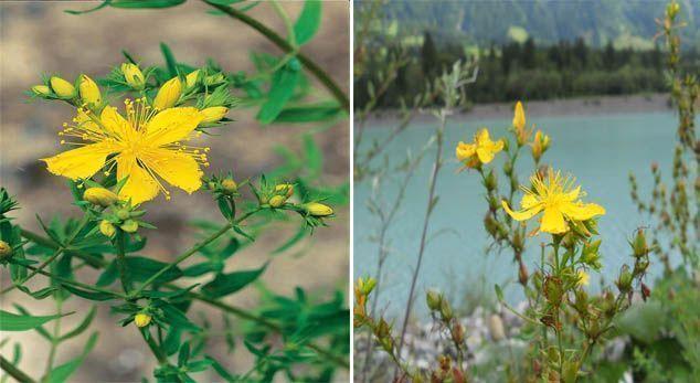 propiedades del hiperico como planta medicinal