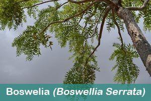 Boswelia s hierbas medicinales