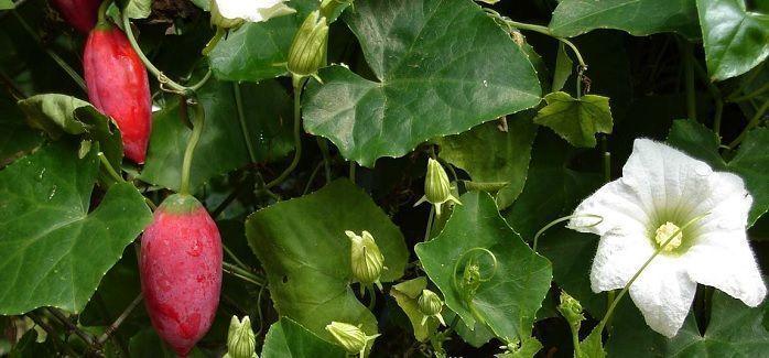 Coccinia indica y otras hierbas para la diabetes