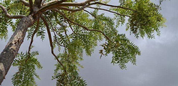 Cultivo y propiedades de boswellia serrata