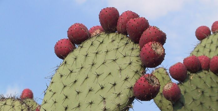 Opuntia streptacantha hierbas para la diabetes