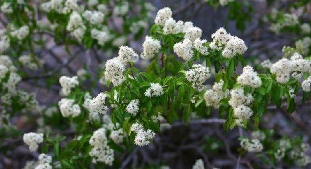 Cómo usar las propiedades medicinales de Amyris balsamifera