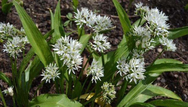 Descubre el potencial de la planta medicinal del ajo de oso (Allium ursinum)