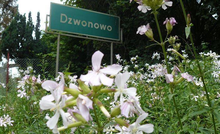 cultivo de saponaria officinalis de crecimiento espontáneo
