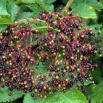 cultivo y propiedades medicinales de Sambucus nigra