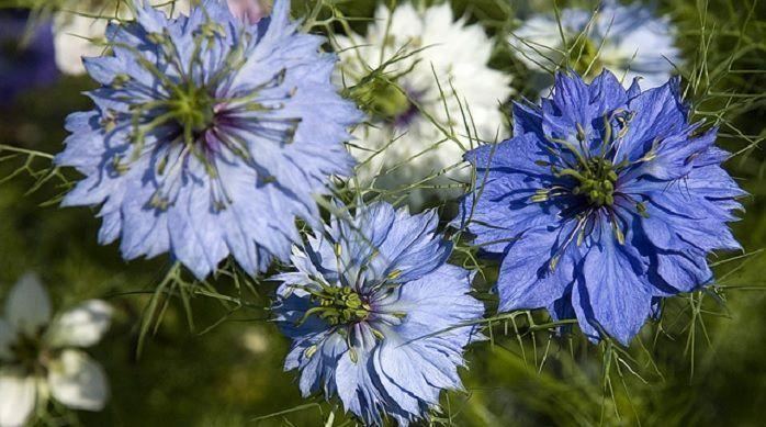 floración de Nigella sativa