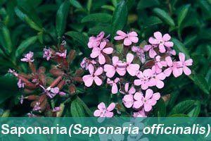 hierbas medicinales saponiaria officinalis
