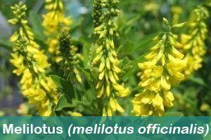 planta medicinal melilotus