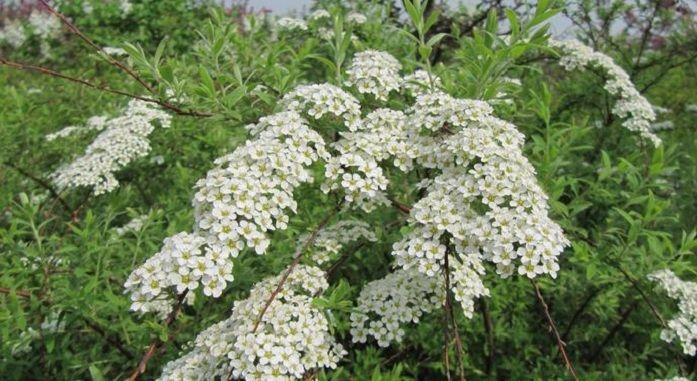plantas medicinales ulmaria (Filipendula ulmaria)