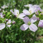propiedades medicinales de Cardamine pratensis
