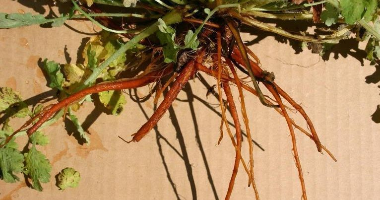 raíces de chelidonium majus
