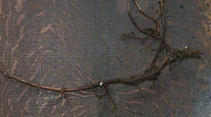 raíces de saponaria officinalis para hacer jabón