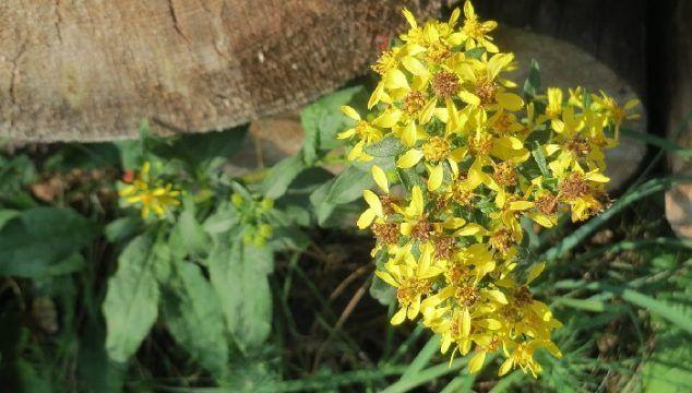 Propiedades medicinales de la vara de oro (Solidago virgaurea)