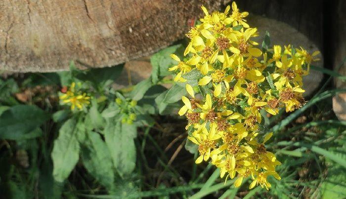vara de oro planta medicinal