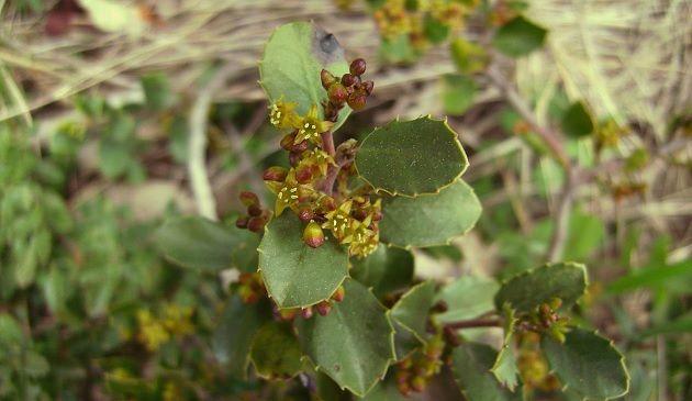propiedades medicinales de Rhamnus alaternus