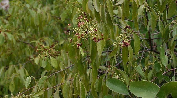 hojas y tallos de Santalum album