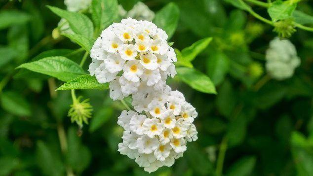 floración de litsea cubeba
