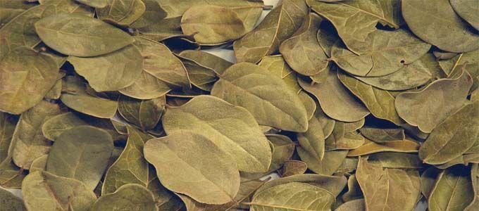 hojas secas para infusion de boldo