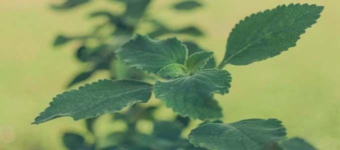 planta fresca de boldo