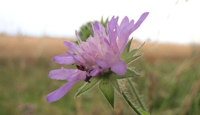 Flor de knautia arvensis o escabiosa