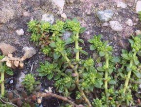 cultivo de herniaria glabra