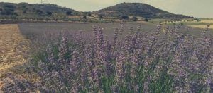 cultivo del lavandin como planta medicinal