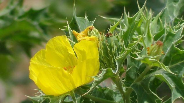 flor de cardo santo
