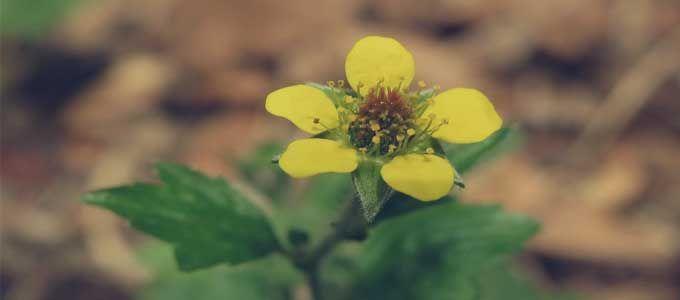floración de Geum urbanum