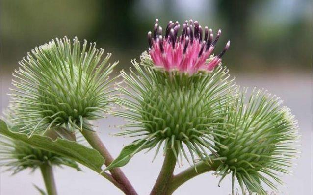 floracion de bardana