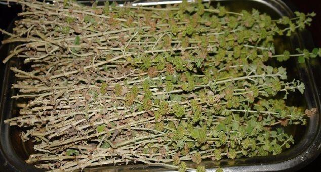 hojas de marrubio
