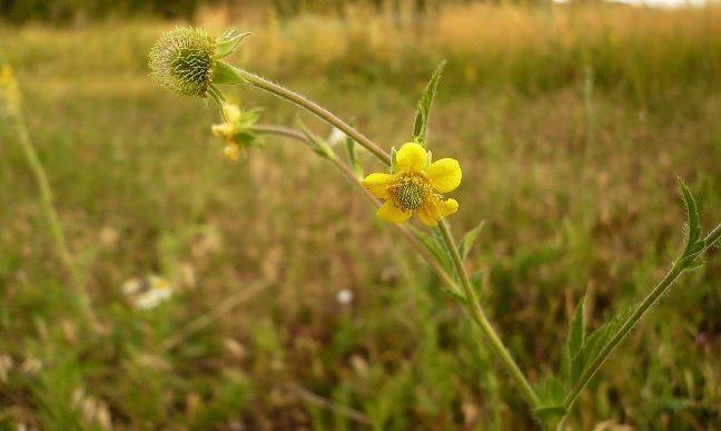 planta Geum urbanum