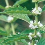 propiedades medicinales de marrubium vulgare