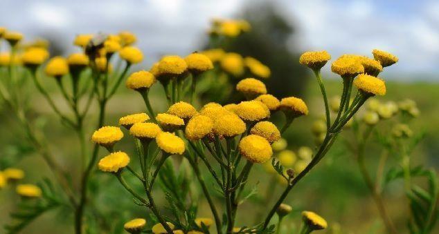 caracteristicas del tanaceto como planta medicinal