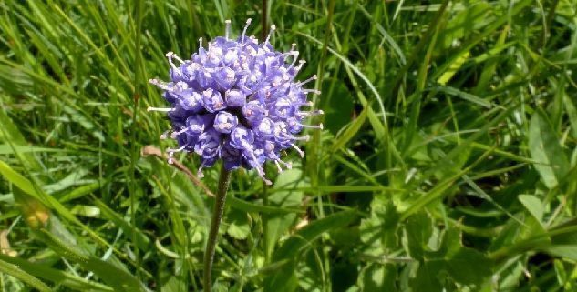 floracion de succisa pratensis