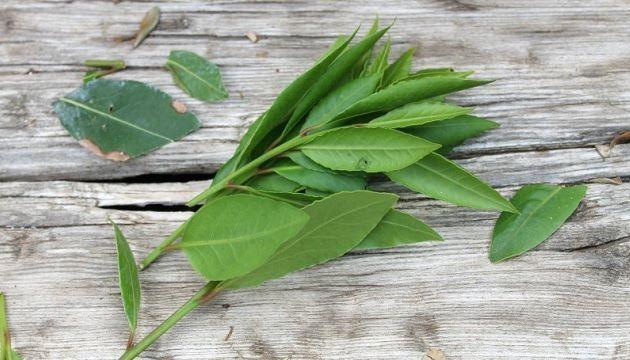 secar hojas para infusion de laurel