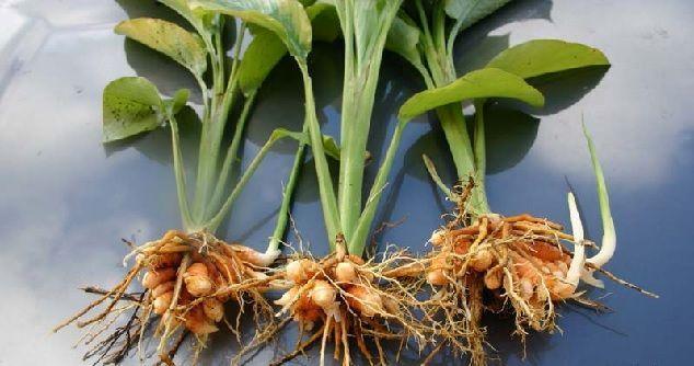 propiedades de la curcuma y sus raices