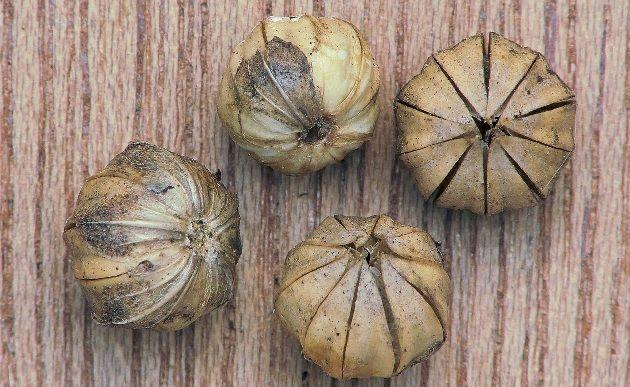 capsulas de semilla de lino