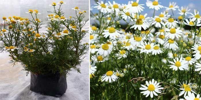 propiedades de la manzanilla como planta medicinal