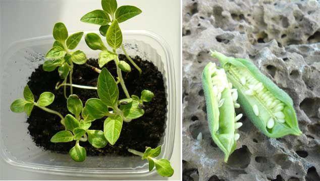 propiedades del sesamo y detalle de la planta
