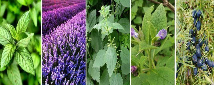 Plantas medicinales con efecto analgésico
