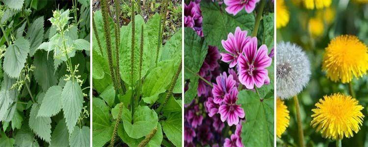 Plantas naturales para recolectar