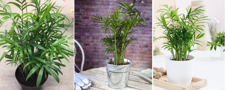 Chamaedorea seifrizii plantas purificadoras de aire