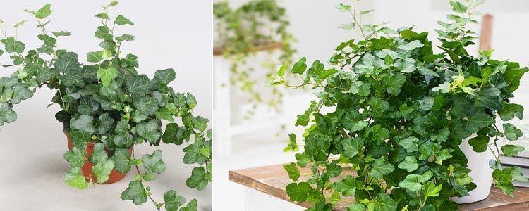 Hiedra común plantas purificadoras de aire