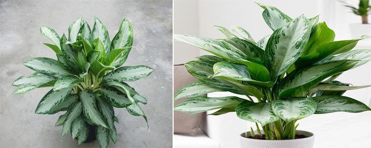 aglaonema planta purificadora de aire