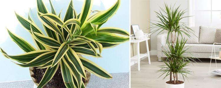 planta para purificar aire dracaenas