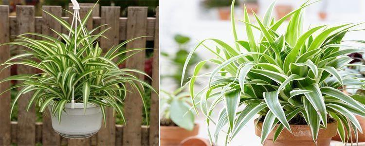 planta purificadora de aire Chlorophytum comosum