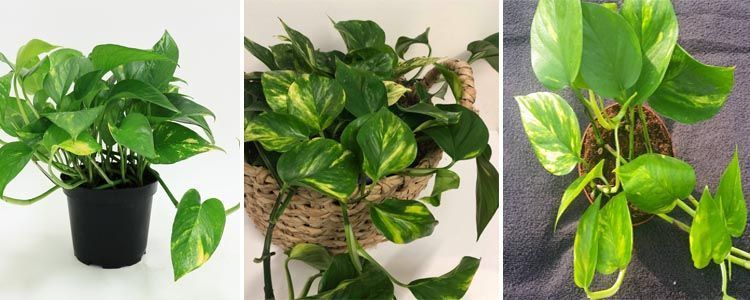 plantas purificadores de aire Epipremnum aureum
