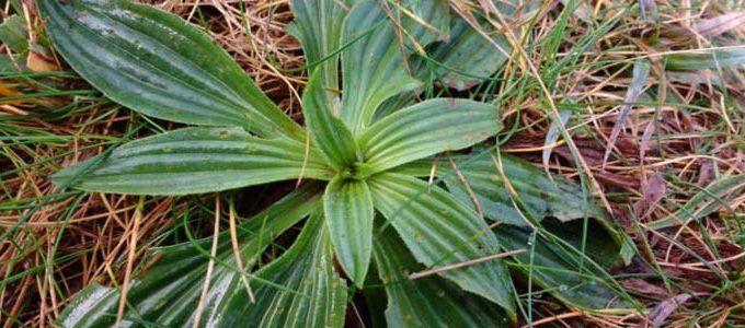 Planta Plantago lanceolata