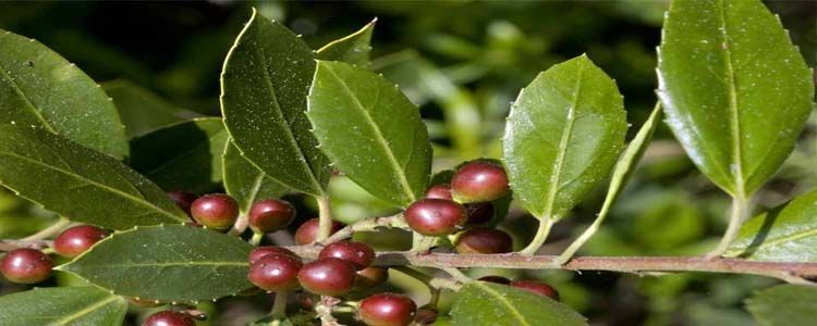 Planta Rhamnus alaternus