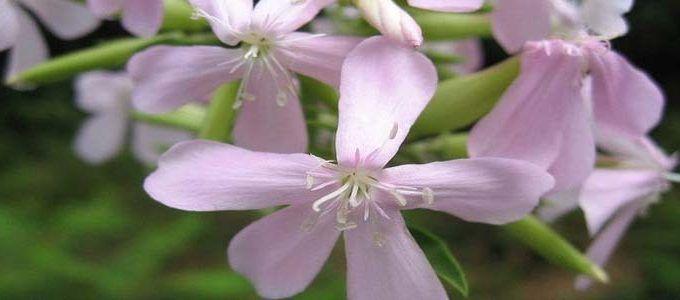 Planta Saponaria officinalis